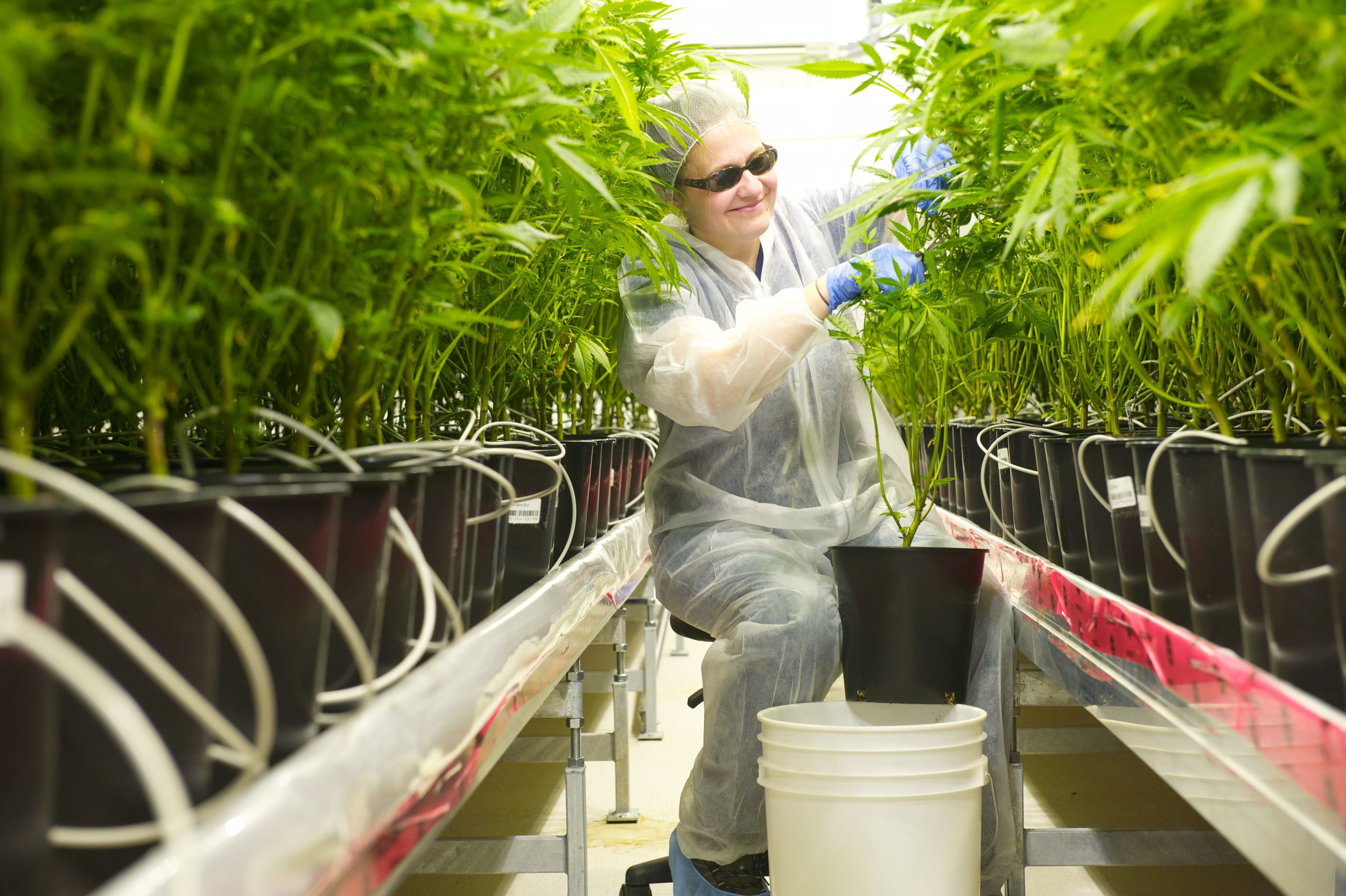 Tilray vegetative plants
