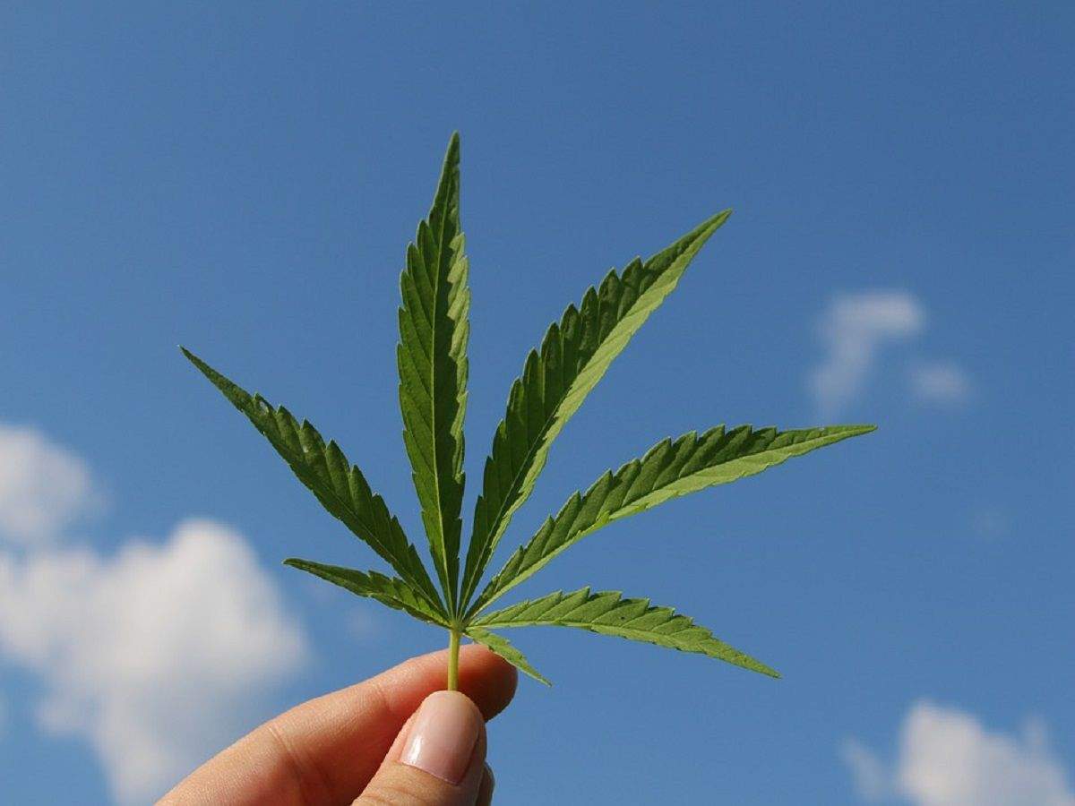 Hemp Leaf Hemp Plant Cannabis Sativa
